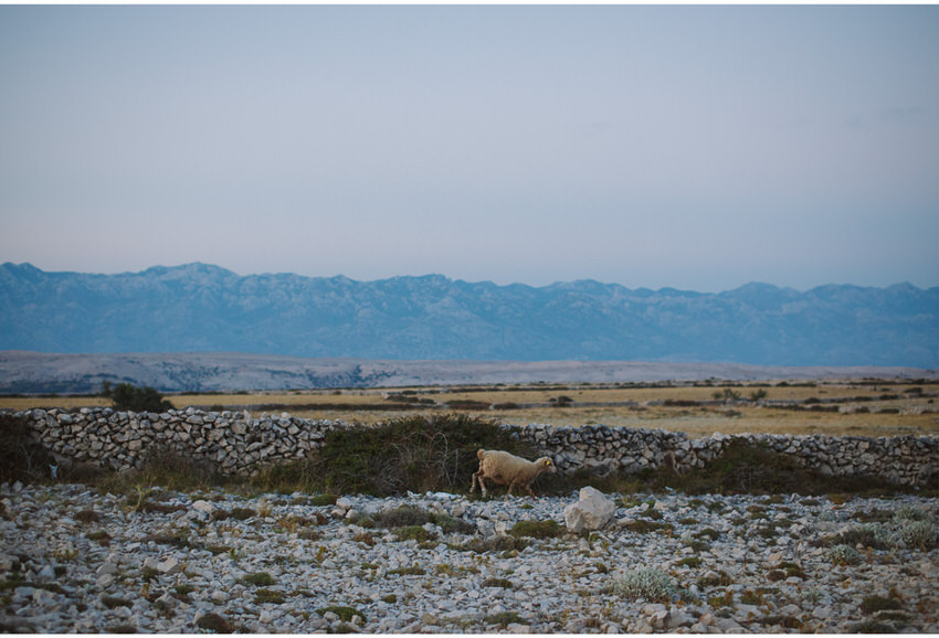 sheep on pag island