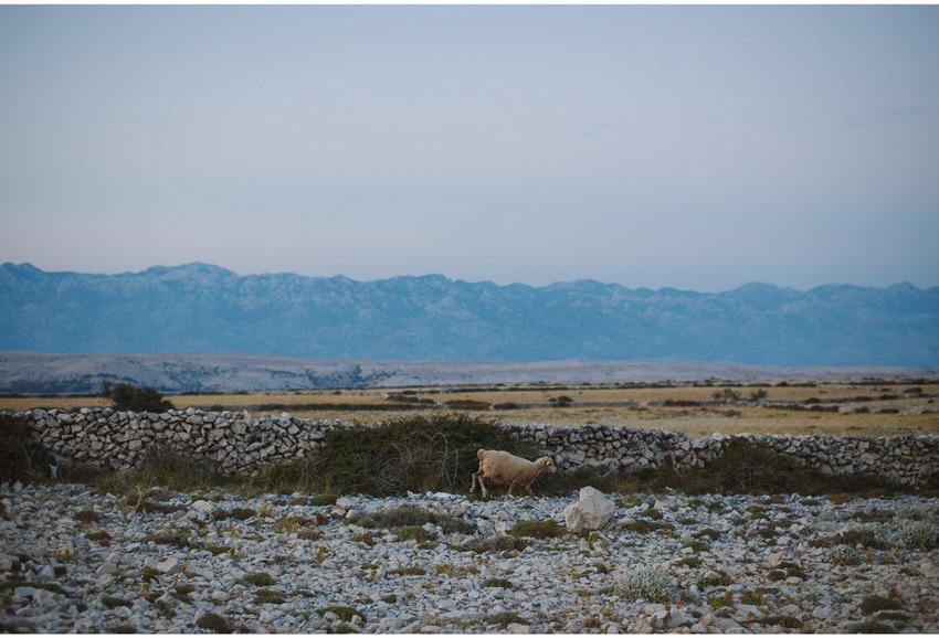 sheep on pag island