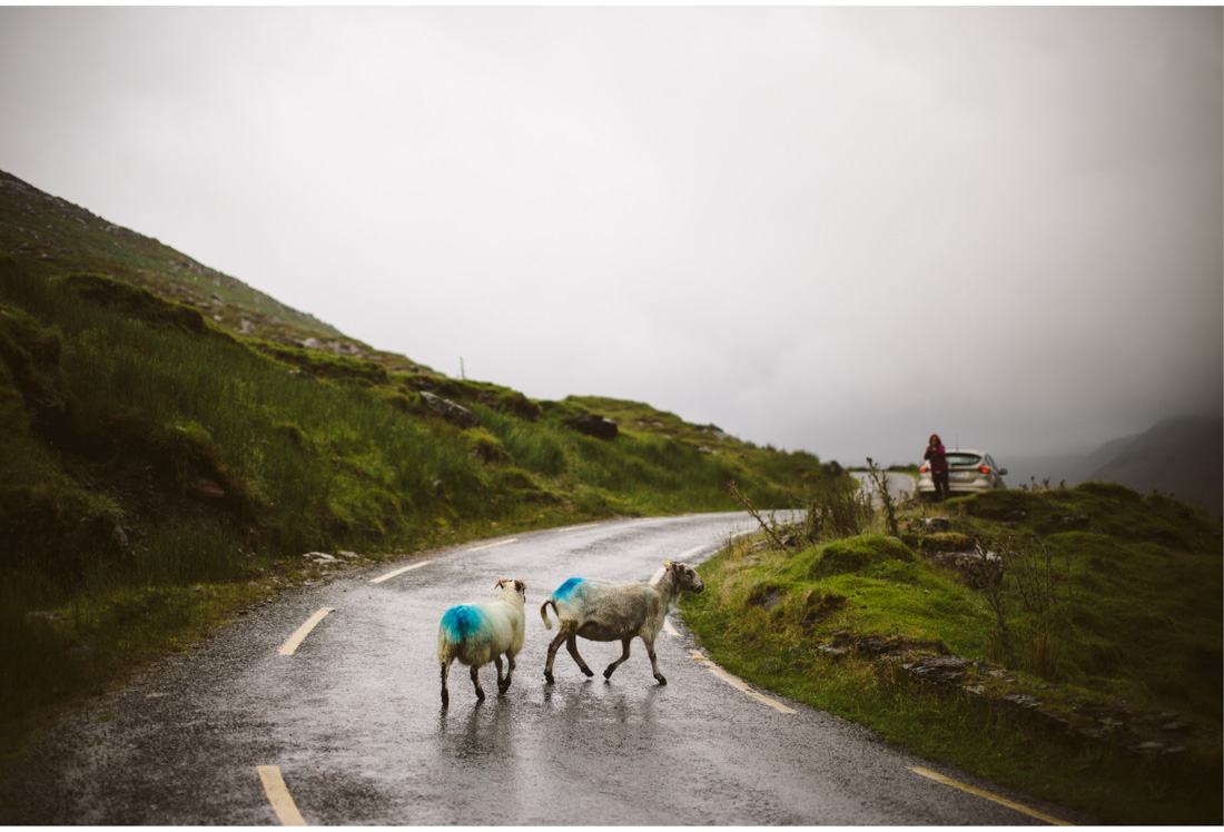 sheeps on the road in ireland