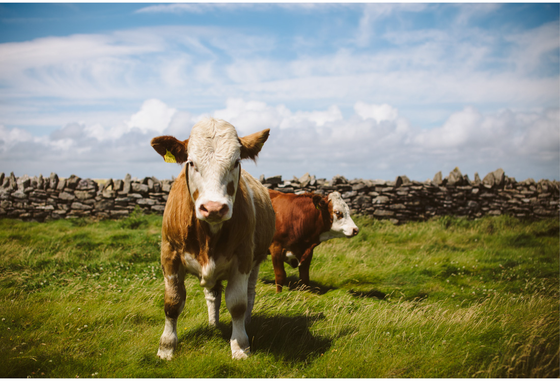 cows in ireland